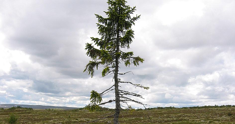 Old Tjikko árboles centenarios